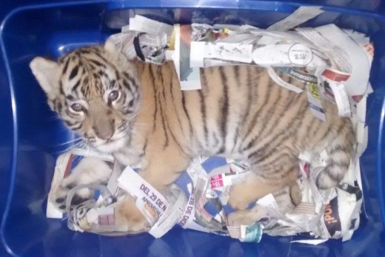Aseguran cachorro de tigre de bengala en Jalisco; pretendían enviarlo por paquetería